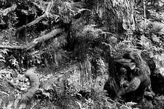 Roots & Grasses (joeldinda) Tags: blackandwhite bw tree monochrome nikon michigan may roots parks grasses shadowplay lightandshadow v2 grandledge 2016 ledgestrail eatoncounty 3137 1v2 nikon1v2