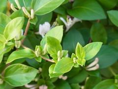 More buds (nofrills) Tags: flowers plants plant flower green floral whiteflower flora buds bud honeysuckle shrub whiteflowers japanesehoneysuckle whiteandgreen