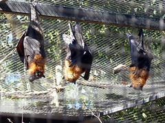(Mitchell Lafrance) Tags: travel vacation holiday interesting australia bluemountains flyingfox 2010