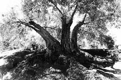 olivo (joluardi) Tags: blackandwhite bw tree blancoynegro olive bn rbol olivetree olivo