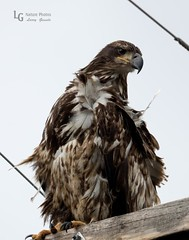 Eagle Bad Feather Day--59 (LGNaturePhotos) Tags: americanbaldeagle nearwestside centraloregontrip2016