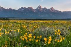Antelope Flats Wildflowers (greggohanian) Tags: mountains wildflowers grandtetons tetons antelopeflats fieldofwildflowers balsamroots