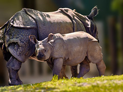 Puri and his Mother Rapti (W_von_S) Tags: nature animal zoo spring outdoor sony natur may mai rhinoceros tier werner frhling puri hellabrunn 2016 nashorn 450mm a700 rapti panzernashorn pspx8 wvons