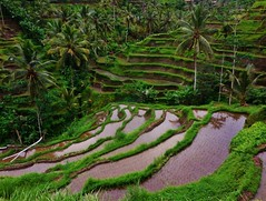the Tegalalang rice terraces (SM Tham) Tags: bali water reflections palms indonesia landscape outdoors island asia hills valley paddyfields riceterraces coconuttrees contours slopes tegalalang