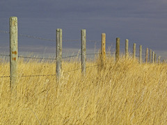 Prairie Fence Line (planet_hugger) Tags: sky canada field grass yellow fence wire post line alberta prairie barbed
