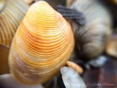 #Muscheln #Strand #Italien #Meer #Makrofotografie #Makro #Natur #Urlaub (Vallili Puppal) Tags: italien strand meer urlaub natur makro muscheln makrofotografie