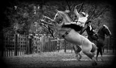 Marcelo Severo (Eduardo Amorim) Tags: brazil horses horse southamerica brasil criollo caballo cheval caballos cavalos pferde cavalli cavallo cavalo gauchos pferd riograndedosul pampa hest hevonen campanha brsil chevaux gaucho  amricadosul fronteira hst gacho  amriquedusud  gachos  sudamrica suramrica uruguaiana amricadelsur  sdamerika crioulo caballoscriollos criollos jineteada   americadelsud gineteada  crioulos cavalocrioulo americameridionale caballocriollo eduardoamorim cavaloscrioulos
