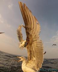Seagulls - 13th May 2016 (TAZ BRADLEY) Tags: sea seagulls coast cornwall seagull kraken gopro cornishcoast