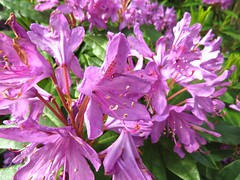 1414 Pink Rhododendron (Andy panomaniacanonymous) Tags: 20160527 fff flowers gardenflower ggg pink ppp rhododendron rrr