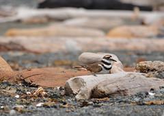 Amongst The Driftwood (Neal D) Tags: bird bc killdeer victoria driftwood charadriusvociferus fortroddhillnationalhistoricsite