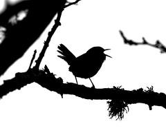 Silhouette of a Wren, Caerlaverock Wetland Centre, Dumfries, UK (aclark1964) Tags: uk sexy bird canon eos scotland is britain mark iii ii 5d wren usm troglodytes ef70200mm troglodytestroglodytes 14x f28l caerlaverockwetlandcentre silhouetteofawren