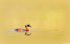 Swimming in gold! (Elma_Ben) Tags: bird beautiful gold iceland goldenlight hornedgrebe podicepsauritus flrgoi birdsiniceland canoneos7dmarkii sigma150600mm elmaben