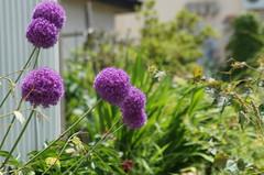 Purple balls () Tags: minolta sony af 100300mm f4556 slta57 57