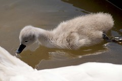 Cygnet at Abbotsbury Swannery (Annette Rumbelow) Tags: water pen swan feathers swans naturereserve cob cygnets nesting swannery beautifulfeathers abbotsburyswannerydorset annetterumbelowwilson swansfreetofly siteofspecialscientificinterestsssiaspecialprotectedspaandaspecialareaofconservationsac