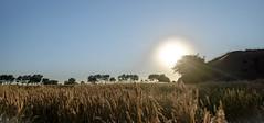Just after sunrise (Wouter de Bruijn) Tags: fujifilm xt1 fujinonxf14mmf28r sun sunrise nature landscape field grain cereal trees outdoor bunker german wwii ww2 worldwartwo atlantikwall