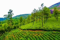 Tea Gardens, Munnar, Kerala(IMG_3685-1) (rabidash*) Tags: tea gardens garden munnar kerala india rabi rabidash rkdash rabindra outdoor travel holidays landscape nature trees plants