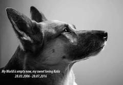 Goodbye my sweet Kaila (Monika Kalczuga (off for now)) Tags: mourning dog love pet ilovemydog kaila animal blackandwhite monochrome