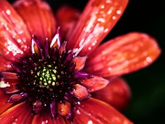 Licked (von8itchfisk) Tags: flowercandy flowerporn wet sticky honeyilickedtheflower macro red nature outside rain mywet garden mygarden battisford vonbitchfisk flowerlicking licked candyapplered