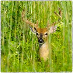 Peekaboo... (RKop) Tags: a77mk2 600mmf4apogminolta armlederpark cincinnati ohio raphaelkopanphotography sony wildlife