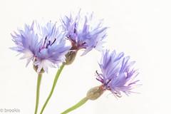 Trio (brookis-photography) Tags: flowers purple cornflowers