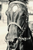 race horse face (feldweg) Tags: galopp galopprennen galope horse race horserace pferderennen doberan baddoberan ostseemeeting 2016 face rennpferd pferd cheval caballo cavallo kon hest