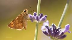 Lavender Lick (jeanmarie (been working lots of overtime)) Tags: garden betterfly insect flower outdoors lavender macro skipper bokeh jeanmarieshelton