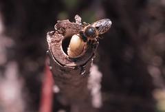 4/7 Supersedure - M.centuncularis (el.gritche) Tags: hymenoptera france 40 garden megachilidae megachile centuncularis female nest hoplitistridentata supersedure behavior larva hoplitis