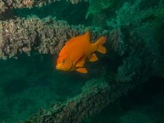 PA070698.jpg (Michael Bartosek) Tags: olympusepl3 catalinaisland olympus1442mm underwater catalina diving california pacificocean