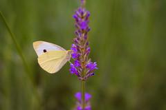 (Sirin's World) Tags: butterfly lavender levendula purple lila lepke pillang green zld nature termszet