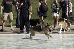 IMG_9530 (kris10pix) Tags: dogpaddle2016 dogs puppies puppy splash pool fetch dog wisconsin capitolk9s mutts purebreed leap madisonwi goodmanspool wetdog summer