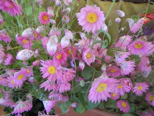 Pomonal Wildflower Show Oct 2014