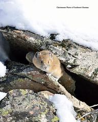 Winter Pika (Photos of Southwest Montana) Tags: winter snow southwest rabbit bunny nature rock brad forest nikon montana hare photos wildlife national dillon tamron christensen pika beaverhead beaverheaddeerlodge