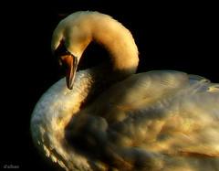 SunsetSwan (Franco DAlbao) Tags: light sunset bird luz lumix golden swan feathers ave ocaso cisne dorado plumas dalbao francodalbao