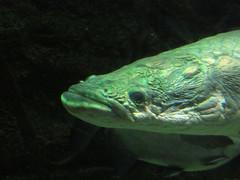 0598 Long Face (mari-ten) Tags: fish animal japan aquarium zoom  osaka kansai osakaaquarium eastasia arapaima   2013 osakacity   201312 20131223