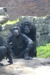 02-01-2015-taronga 245 (tdierikx) Tags: chimpanzee shiba taronga tarongazoo lubutu 02012015taronga tdierikx