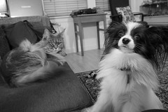 Charlie and Breeze 5, 11 Nov 14 (Castaway in Scotland) Tags: blue dog pet cute animal cat silver grey scotland tabby gray maine adorable kitty east papillon coon lothian dmusselburgh