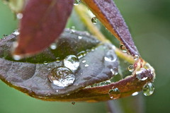 Raindrops (Deb Jones1) Tags: macro water leaves rain canon garden botanical dewdrops leaf flora raindrops waterdropmacro