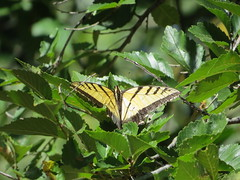 Swallowtail (Patricia Henschen) Tags: arkansasriver swallowtail butterfly canoncitycolorado riverwalk usroute50