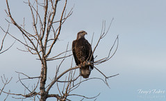 Watchful juvenile bald eagle