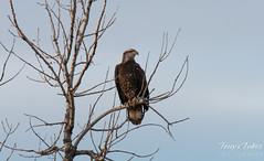 Watchful juvenile bald eagle