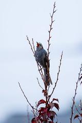 Brown-eared Bulbul ヒヨドリ (Yoshihiro Ogawa) Tags: bird birds aves 鳥