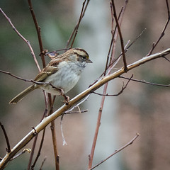 White-throated Swallow in Ninebark (hickamorehackamore) Tags: winter backyard nikon december connecticut wildlife ct habitat whitethroatedsparrow certified nwf 2014 ninebark haddam