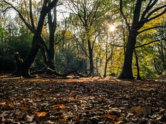 Sunshine (adairfarrar) Tags: trees sun leaves sunshine olympus heath hampstead f28 17mm epl5