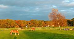 Wageningse Eng vlak voor zonsondergang- In the late afternoon sunlight. (Cajaflez) Tags: autumn trees horses sunlight colors bomen herbst herfst nederland thenetherlands wageningen herfstkleuren lateafternoon paarden zonlicht autun namiddag pferden baumen wageningseeng