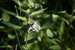 Sim, é uma borboletinha! (Vagner Eifler) Tags: brasil natureza portoalegre borboleta riograndedosul borboletas pontagrossa centrosocialedetreinamentobanrisul