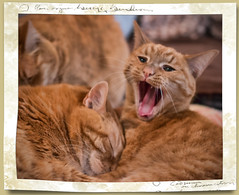Open Wide (frame II) (gtncats) Tags: cats pets framed tabbies felines soe autofocus greatphotographers ef50mm orangetabbies canon70d felinefaces vg~catsgallery photographyforrecreation frameitlevel01 infinitexposure