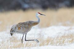 Lonely Sandhill (Bryan O'Toole) Tags: winter snow nature field nikon crane michigan wildlife sandhill sandhillcrane pickford farmersfield gruscanadensis nikond7000 pickfordtownship nikkorafs600mmf4vrii