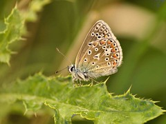 Common Blue 1924 (saxonfenken) Tags: butterfly insect dof shallow perpetual commonblue yourock gardem 6940 challengewinner thechallengefactory pregamewinner 6940but