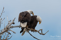 Female Bald Eagle checks on its mate