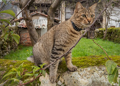 Curiosity (Eugercios) Tags: espaa cat spain espanha asturias gato curiosity asturies curiosidad curiosidade piloa espinaredo